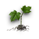 Maple sprout.png