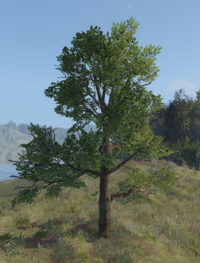 Oak tree.png