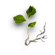 Birch sprout.png