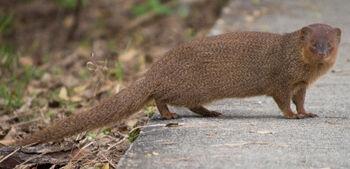 Real Life (Javan Mongoose)