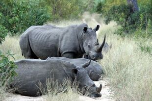 Real Life (White Rhinoceros)