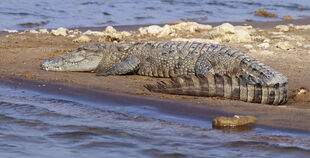 Real Life (Mugger Crocodile)