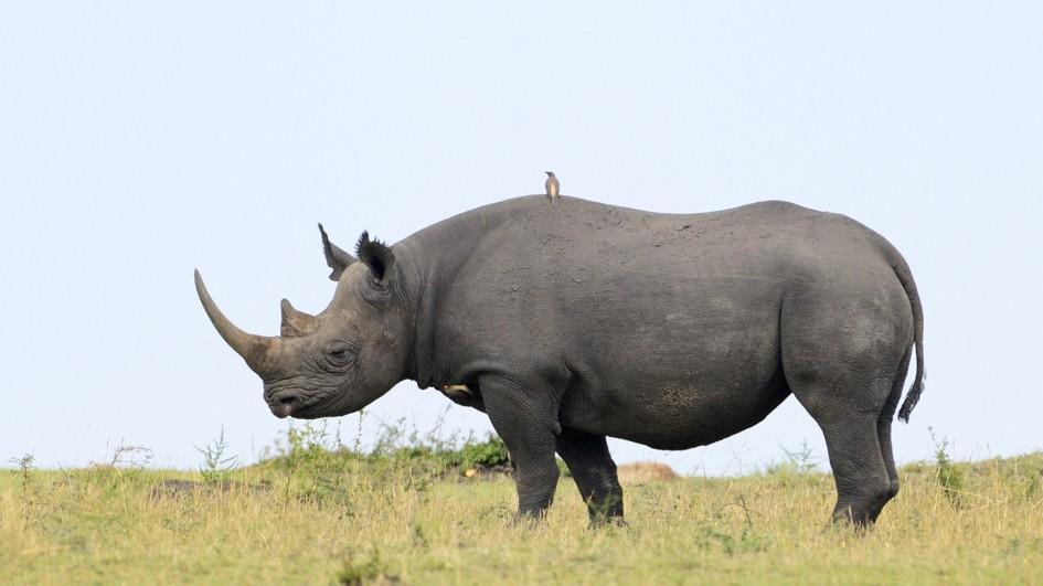 Rhinoceroses The Lion Guard Wiki Fandom
