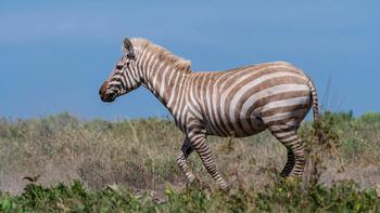 Real Life (Golden Zebra)