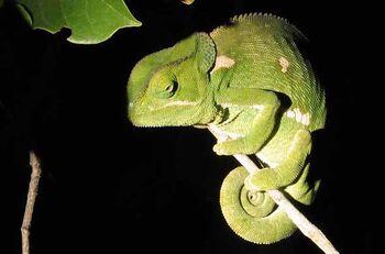 Real Life (Flap-necked chameleon)