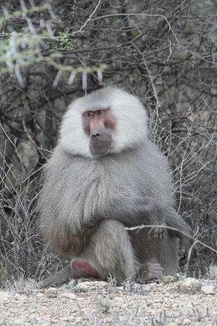 Real Life (Hamadryas Baboons)