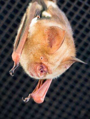Real Life (Diadem leaf-nosed bat)=