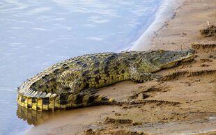 Real Life (Nile Crocodile)