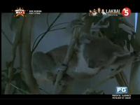 TV5 Lakbai Screen Bugs