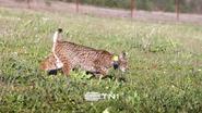 TN1 ID - Bobcat 4 - 2020