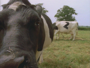 GRT2 Cows sting 1992
