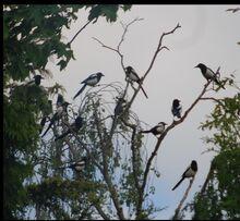 Magpies 2.jpg