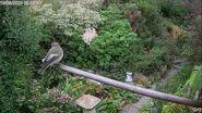 Pied Flycatcher 19 8 20 Oxleas Woods