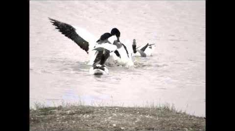 Shelduck fighting on Two Tree Island - Essex