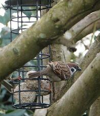 Tree sparrow 5.jpg