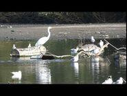 Great Egret at Brent Reservoir