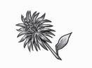 Dreamlilies