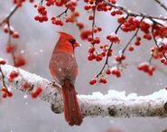 Snowcardinal