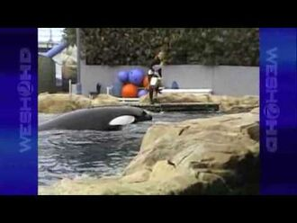 Tourist's_Camera_Rolls_Seconds_Before_Killer_Whale_Attacks_SeaWorld_Trainer