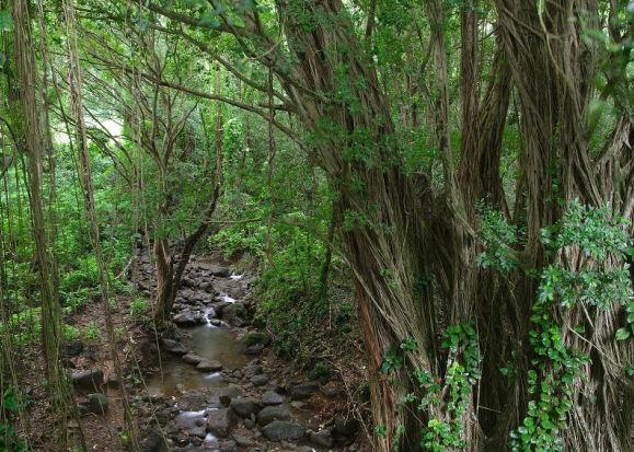 Chemin forestier des Chutes Manoa