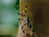 Medusa-Spinne