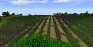 Dorwinion vineyard