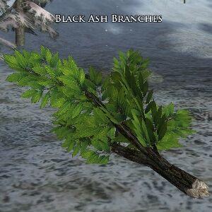 黒トネリコの枝.jpg