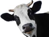 Gwiezdna krowa