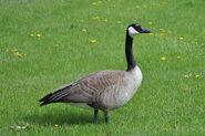Canada Goose Standing