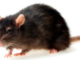 Пацюк