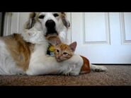 Video 36- Cute ADORABLE kitten tries to steal dog's tongue (as seen on Ellen!!)