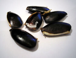 Chikoo seeds.jpg