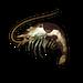 Oily Shrimp.png