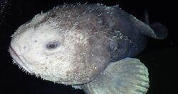 Blobfish-in-deep-sea-darkness.jpg