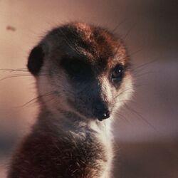 Dominant meerkats