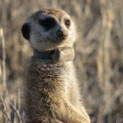 Deceased meerkats