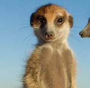 Meerkat patch