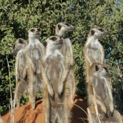 Meerkat Mobs