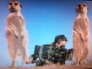 Meerkats and cameraman