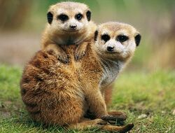 The Meerkats Of Summer Farm The True Story Of Two Orphaned Meerkats And The Family Who Saved Them By Jayne Collier