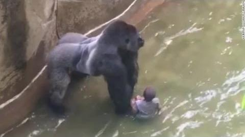 Gorilla zoo boy did Harambe at Cincinnati Zoo deserve to die? - TomoNews