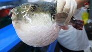 복어장인의 독 제거, 복어 손질, 복어회 ふぐ, 河豚, Puffer fish, blowfish, pupperfish toxic cleaning