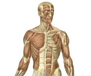 Human muscles, The Cage