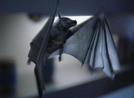 Pyrithianische Fledermaus.jpg