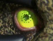 Suliban eye