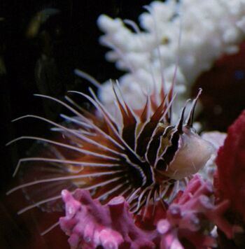 Livingston the lionfish, 2367