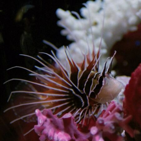 Livingston the lionfish, 2367.jpg