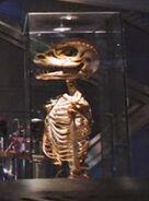 Gorn skeleton