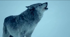Magic wolf howling