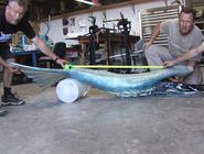 Aquamarine Tail Length